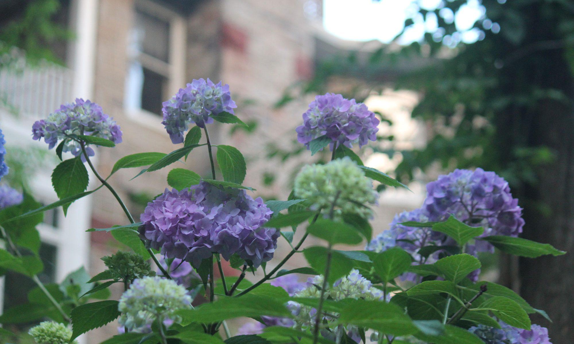 Hydrangeas in garden of Rockhaven B&B